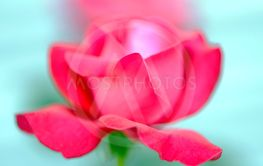 Beautiful flowers red roses photographed close up on a...