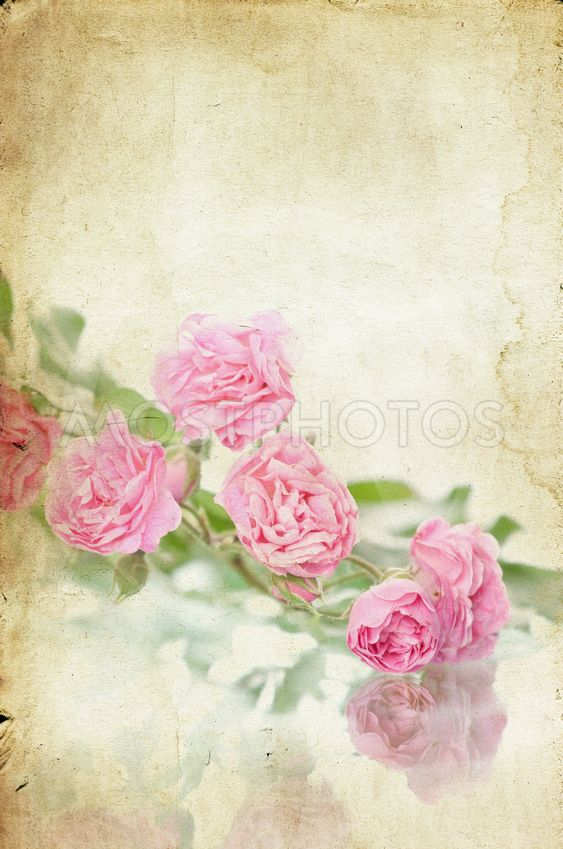 Pink Roses On Vintage Paper Background