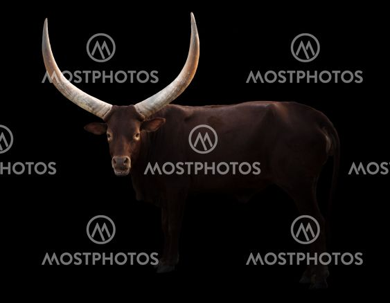 female ankole watusi in dark background