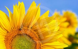 Beautiful yellow flowers - sunflower with bee....