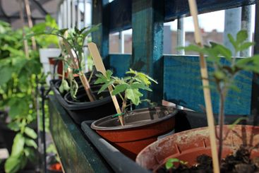 Small tomato plants in pots on the balcony in summer