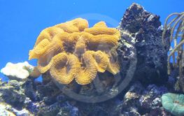 stor gul koral med sten i bassing