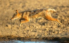 Black-backed jackal jumping over water