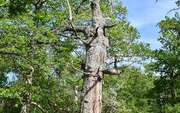 Gammal döende ek skyddad i naturreservatet Halltorps...