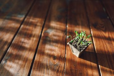 Fresh sprouts, plant in biodegradable pot. Eco gardening...