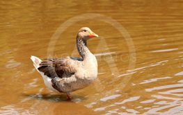 Domestic goose