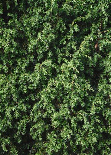 Juniper bush closeup. Evergreen juniper background....