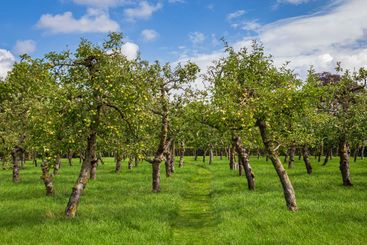 Fruit orchard trees