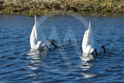 Swan Twin Butts