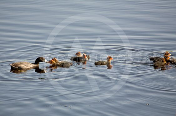 Waterhen Babies
