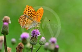 Beautiful orange butterfly on thistle. Natural colorful...