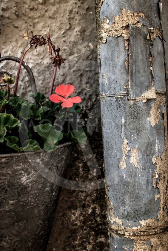Vintage still life of flower in old fashioned wall pot...