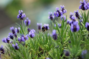 Bumblebee collection pollen from violett flowers
