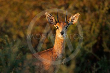 Steenbok antelope portrait