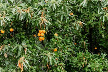 naranjo primer plano con naranjas en sus ramas