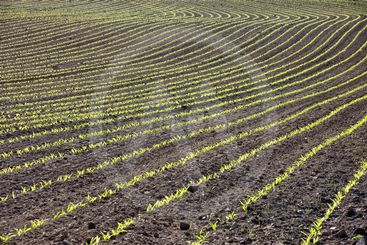 Curved Rows of Young Corn