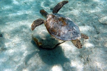 An underwater photo of a Sea Turtle.
