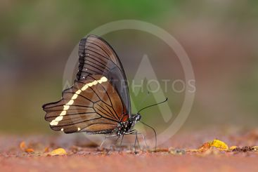 Feeding swallowtail butterfly