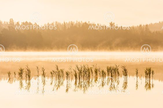 Reeds in a misty and still lake