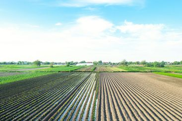 Farm field is planted with agricultural plants. Watering...