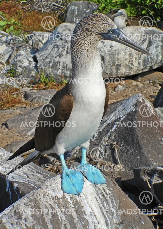 Blue-Footed bombe