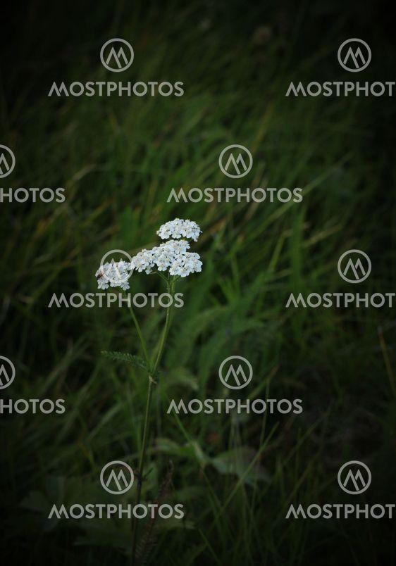 Yarrow Blossoms