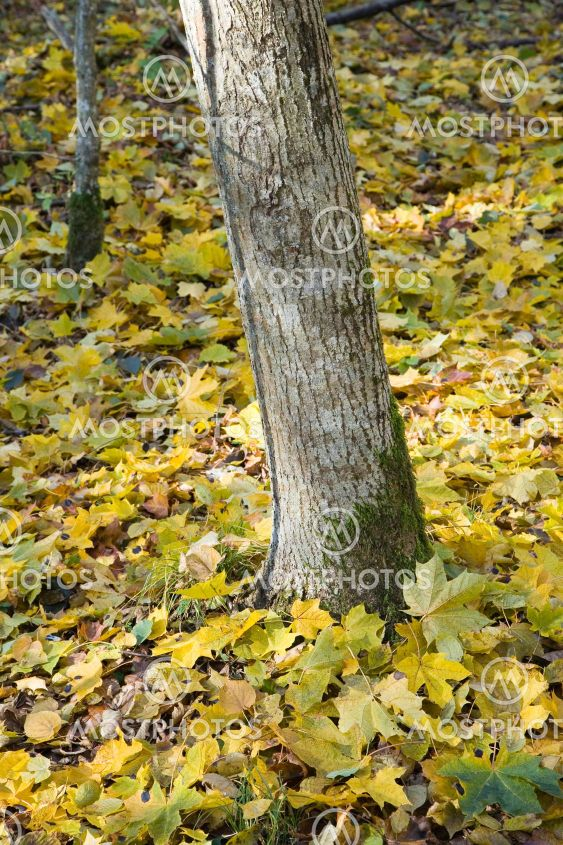 Tree trunk and orange maple leaves