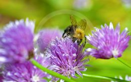 Bumble Bee and Chives
