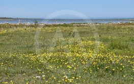 Blommande sjömarker vid Östra Vässby på Öland