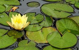 yellow water lily with leaves