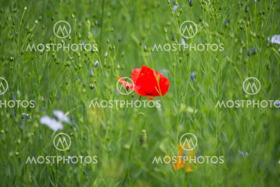 wild flowers and poppy in a meadow