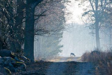 Rådjur betar på en skogsväg i morgondimman