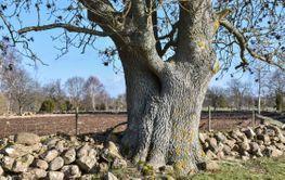 Stor trädstam - en ask vid Gråborg på Öland