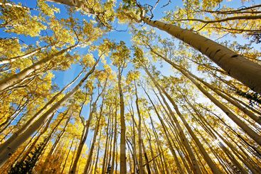 Aspen trees with fall color, San Juan National Forest,...