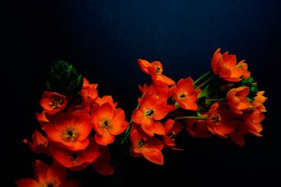 Sun Star - orange perennial flower