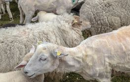 sheared sheep
