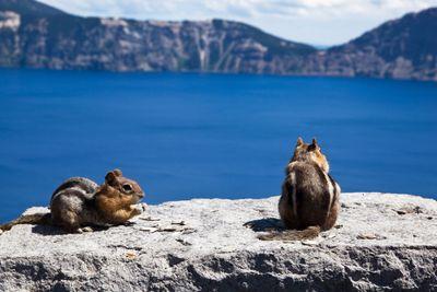 Chipmunks at Crater Lake