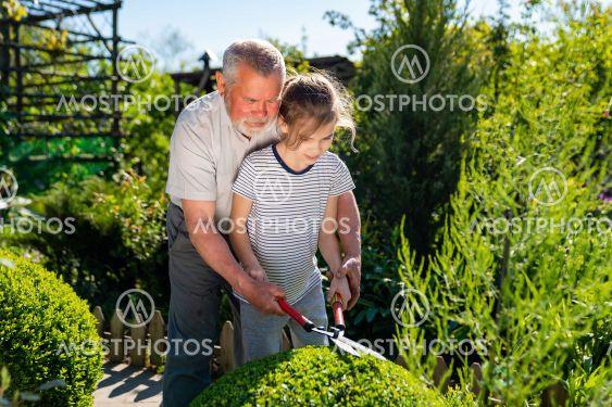 gardener grandpa teaches granddaughter to cut the bushes...