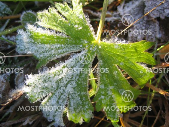 Frosted Leaf of Buttercup