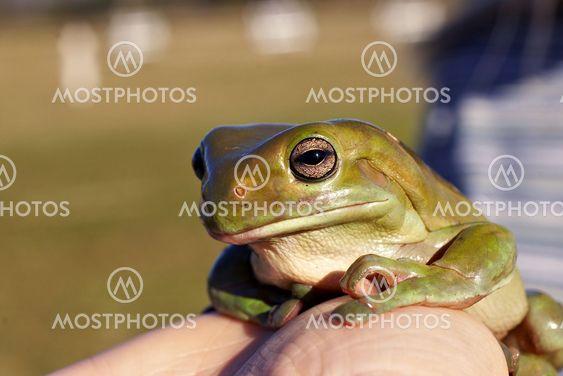 suuri vanha sammakko
