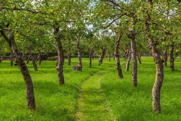 Fruit orchard apple trees