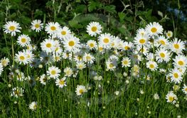 Plenty of flowers, Marguerite Daisies looking at sun.