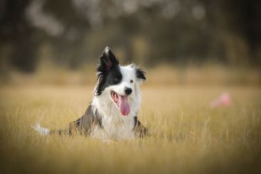 Dogs, border collies are lying in grass.