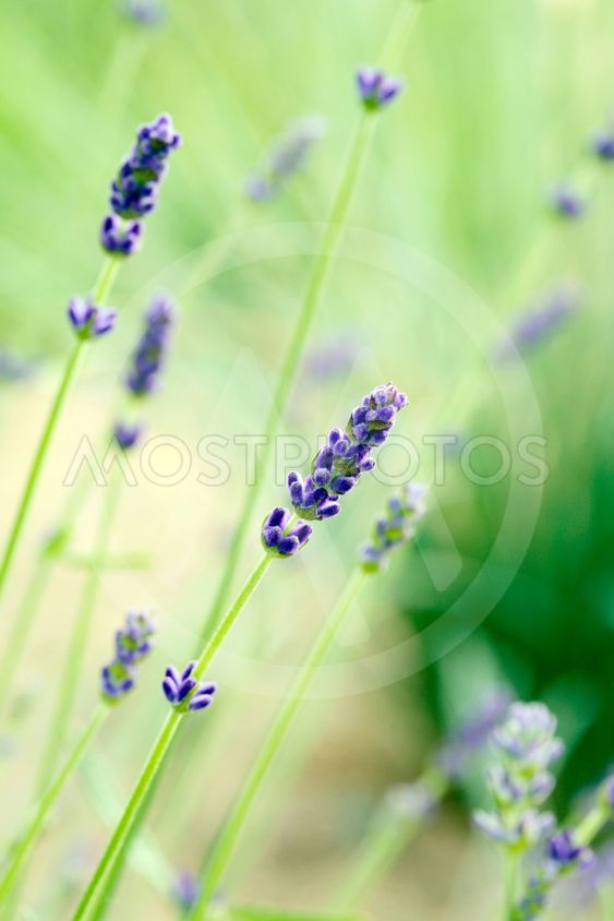 furry lavender buds