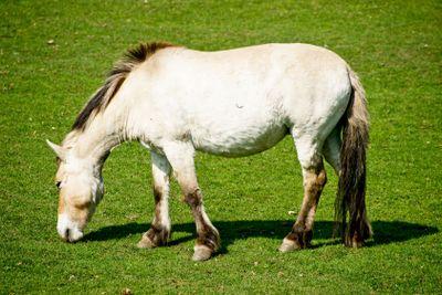 Przewalski horse