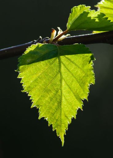 birch leaves on a sunny spring day