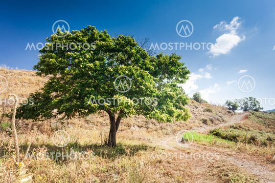 Chestnut tree in arid climate of Calabria