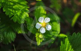 White flower of wild strawberry on a blurred green...