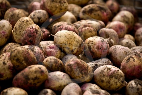 Nyskördad potatis
