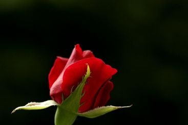 Like a red, red rose